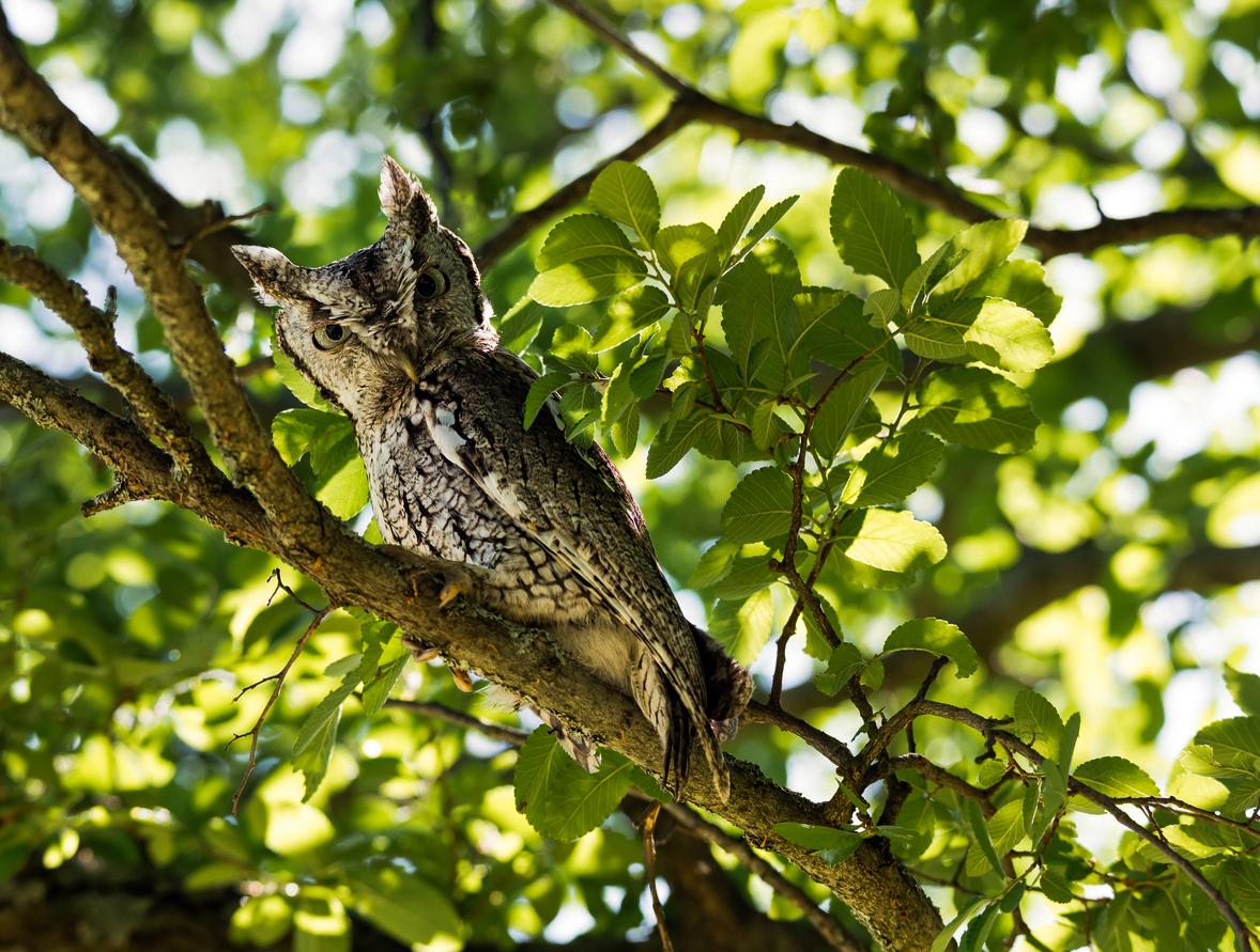 Eastern-Screech-Owl-(Megascops-asio)-473269146_1180x893.jpg