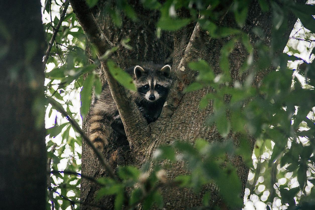 Raccoon-Kit-hiding-in-a-tree-517191692_1258x838.jpg