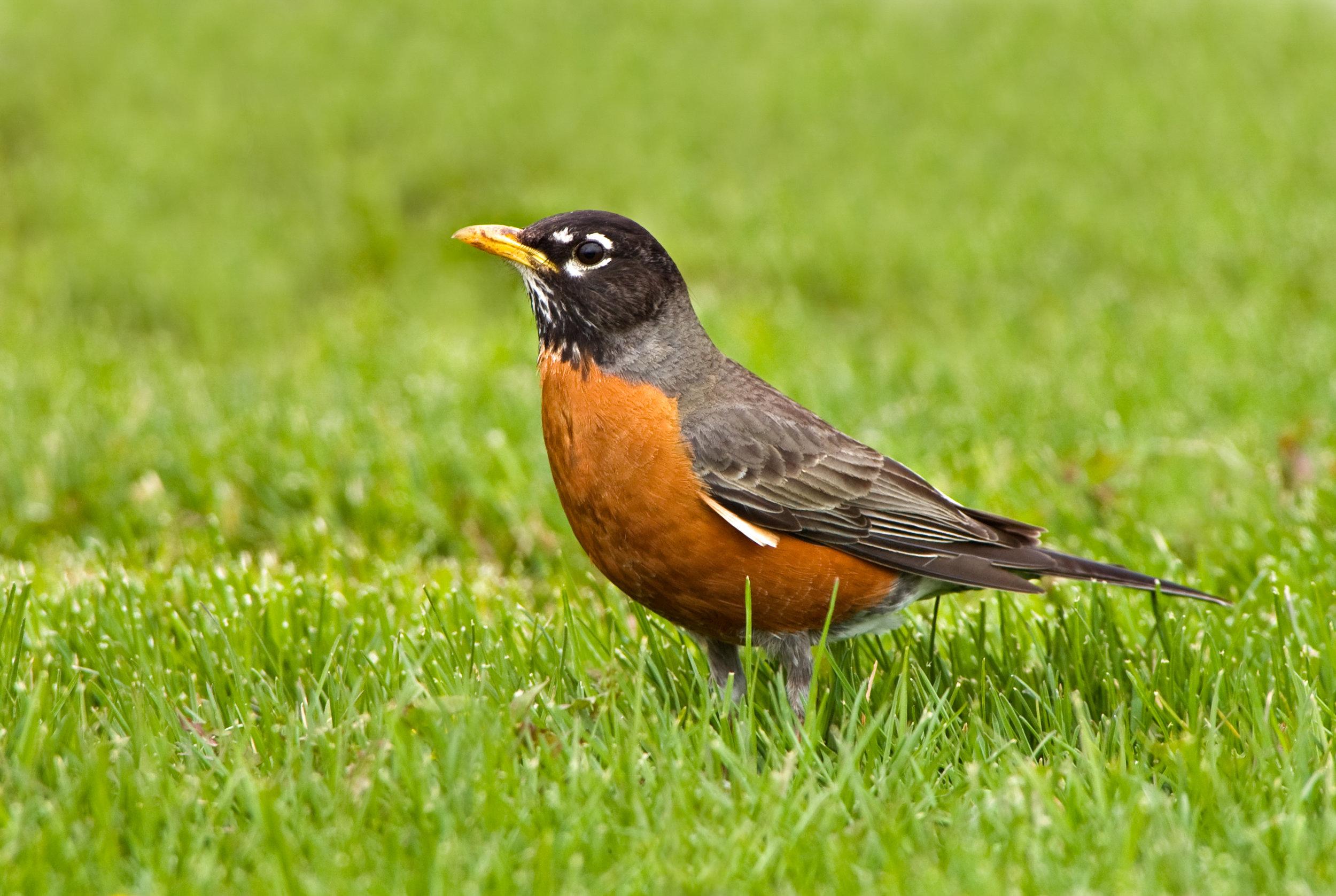 American-Robin-in-Spring-grass-92373688_2588x1736.jpg