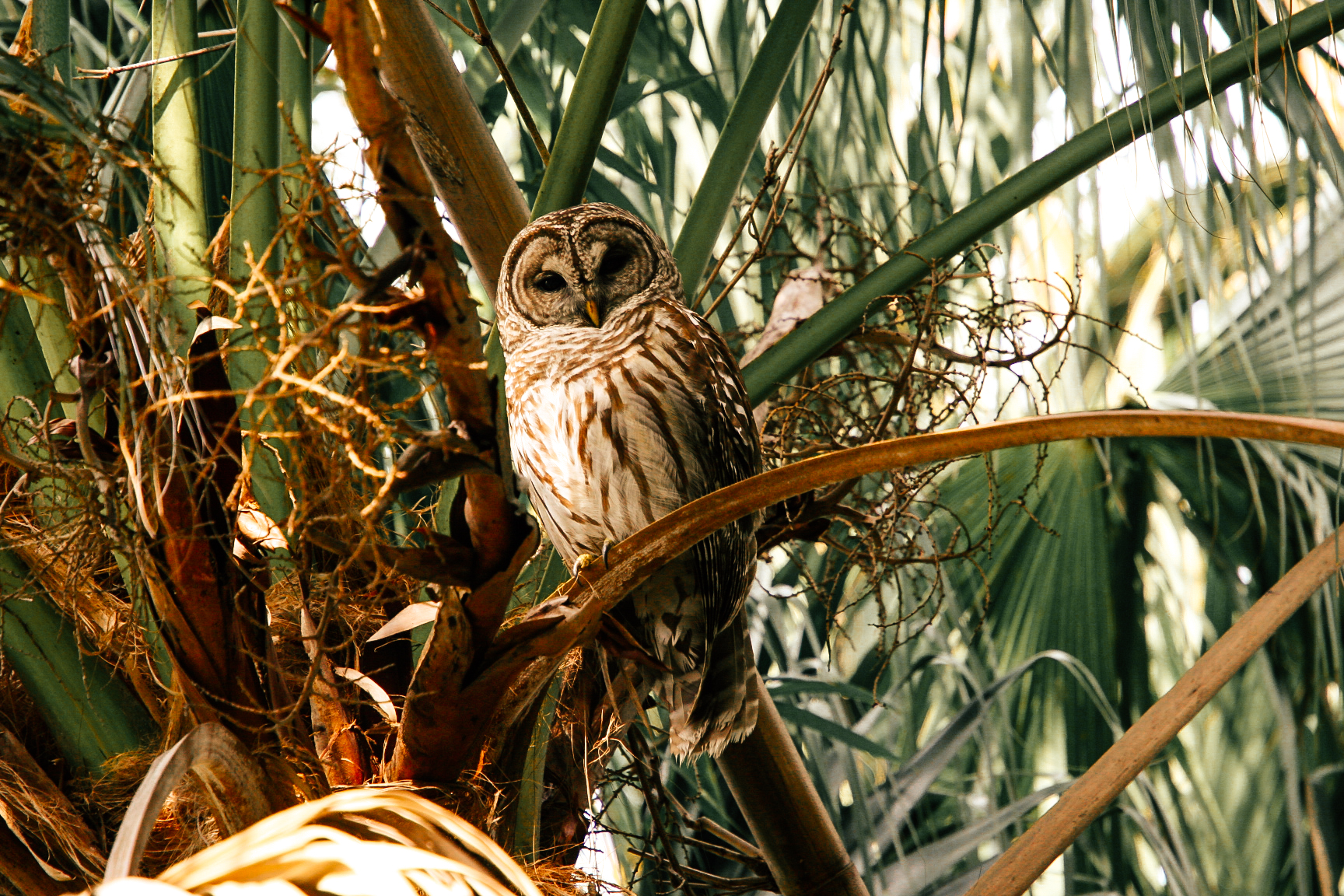 Barred-owl-Strix-varia-sat-in-tree-at-Florida-park-90995663_1728x1152.jpg