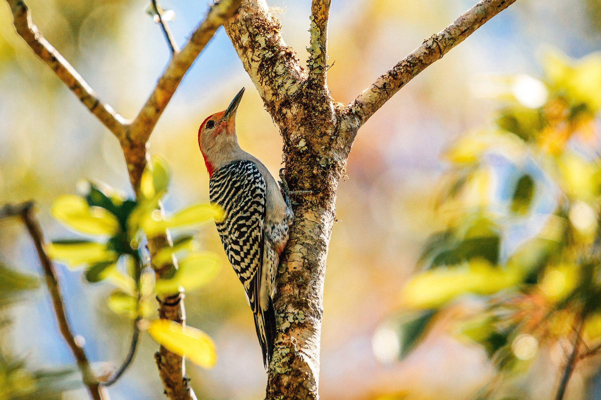 red+bellied+woodpecker
