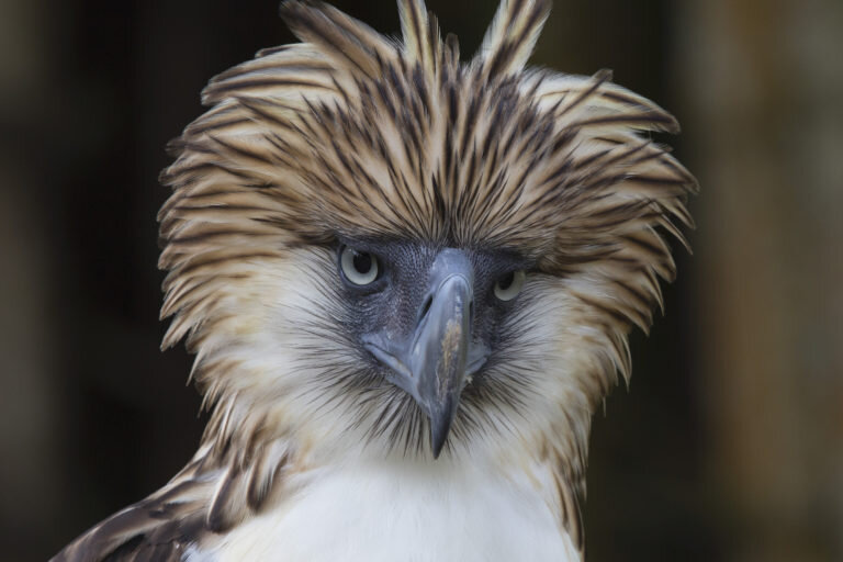 The Kaliwa Dam project will threaten numerous endemic species including the Philippine eagle (Pithecopaga jefferyi), as the Sierra Madre mountain range is one of the last strongholds of this critically-endangered species. Image courtesy of Cornell Lab of Ornithology