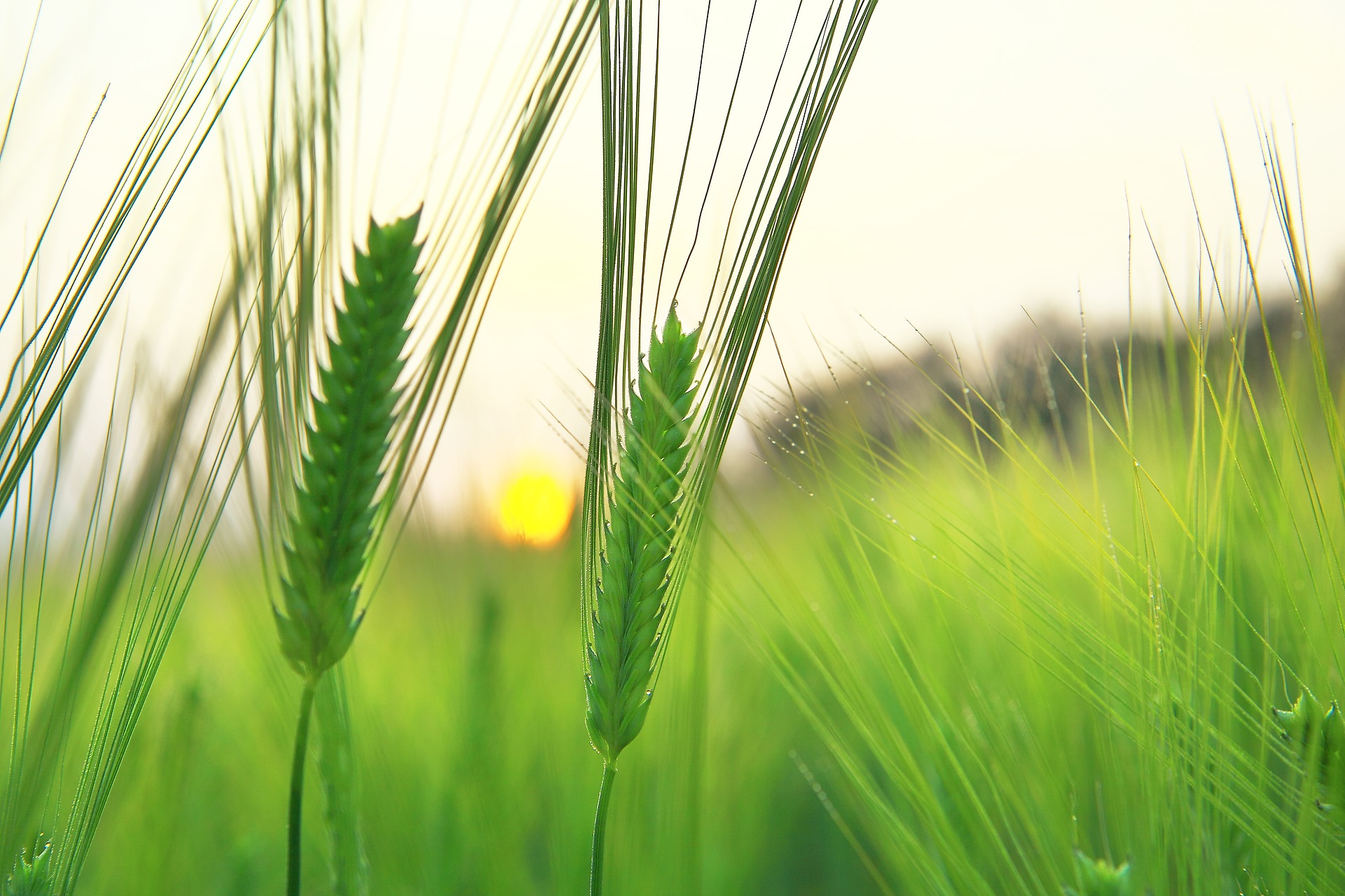 barley-field-1684049_1920.jpg