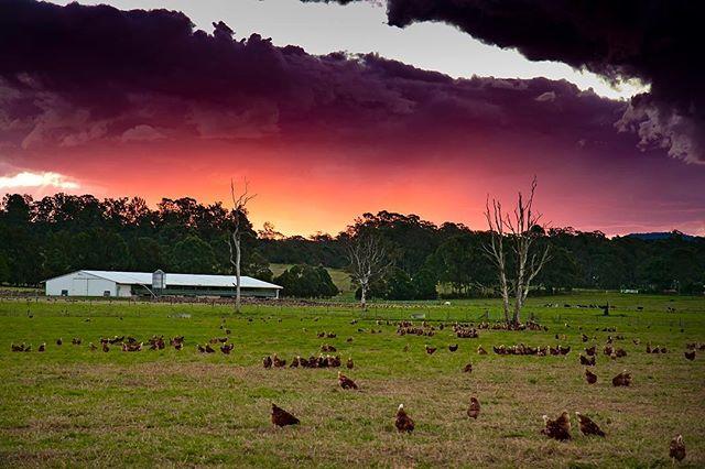 DUSK ... NATURE'S INTENTION !  @manningvalleyeggs  #simplystunning #happyhens #pasturebasedfarming #naturally