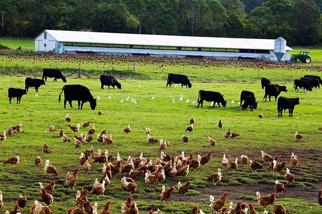 HARMONY... Nature's Intention !  @manningvalleyeggs  #pasturebasedfarming #manningvalley #freerange #naturally