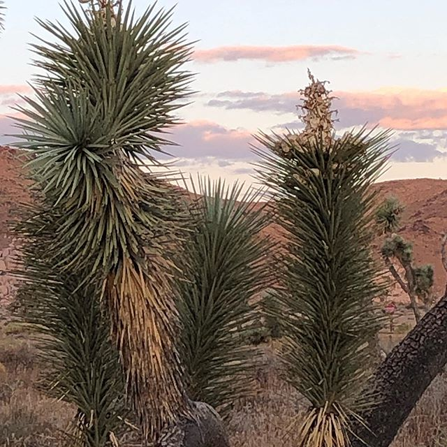 Back in the desert..this time Joshua Tree. With no monsoon weather have to go out at sunrise 🌄 to beat the heat. #joshuatree #joshuatreenationalpark  #nationalparks #optoutside #findyourpark #visitcalifornia #nomonsoonhere