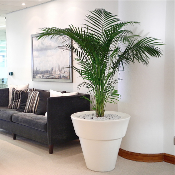 Areca Palm office plant - the centre piece