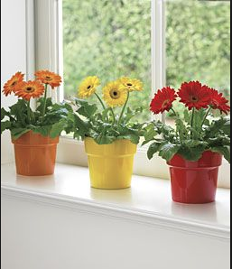 Tip: Try putting your daisies on a window sill to brighten up a gloomy day, and do ensure they have a direct light source.