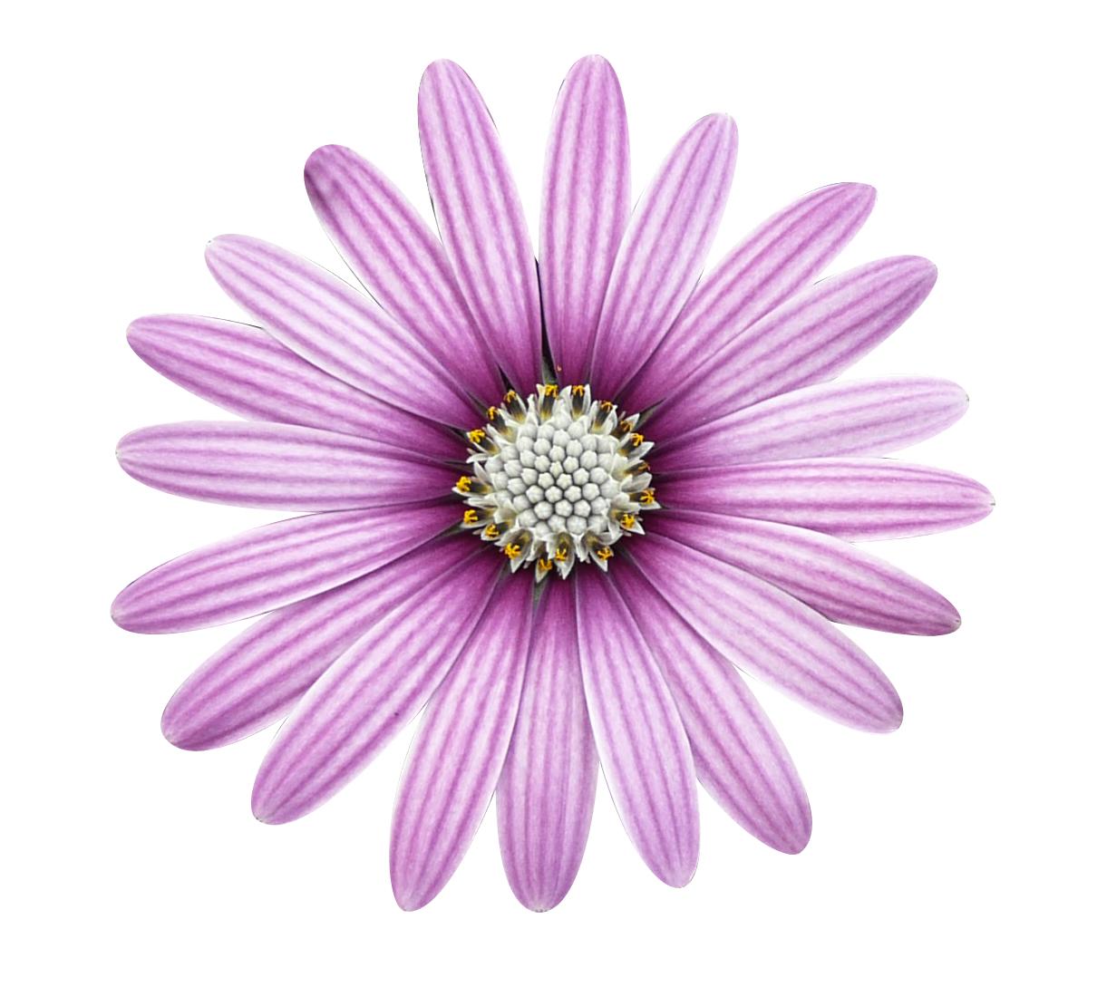Cape Daisy Eye Catcher Purple