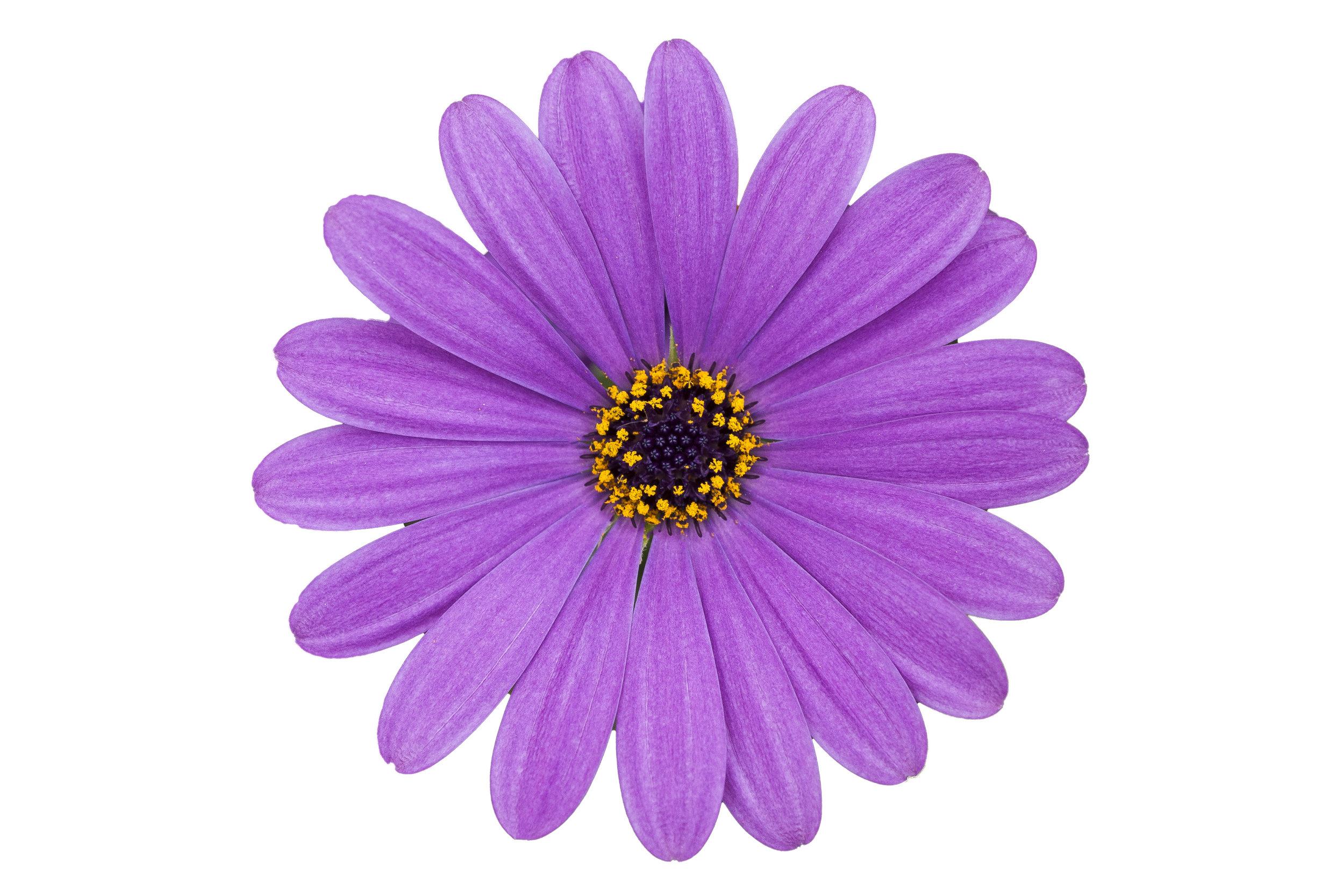 Cape Daisy Lavender Blue