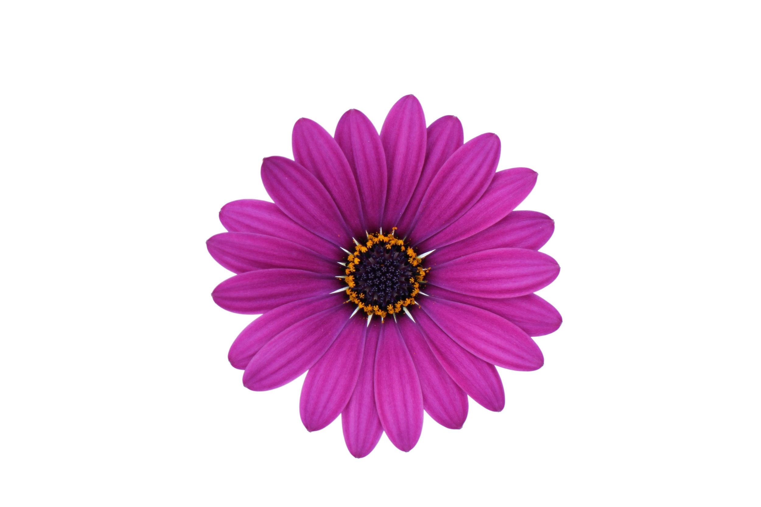 Cape Daisy Purple