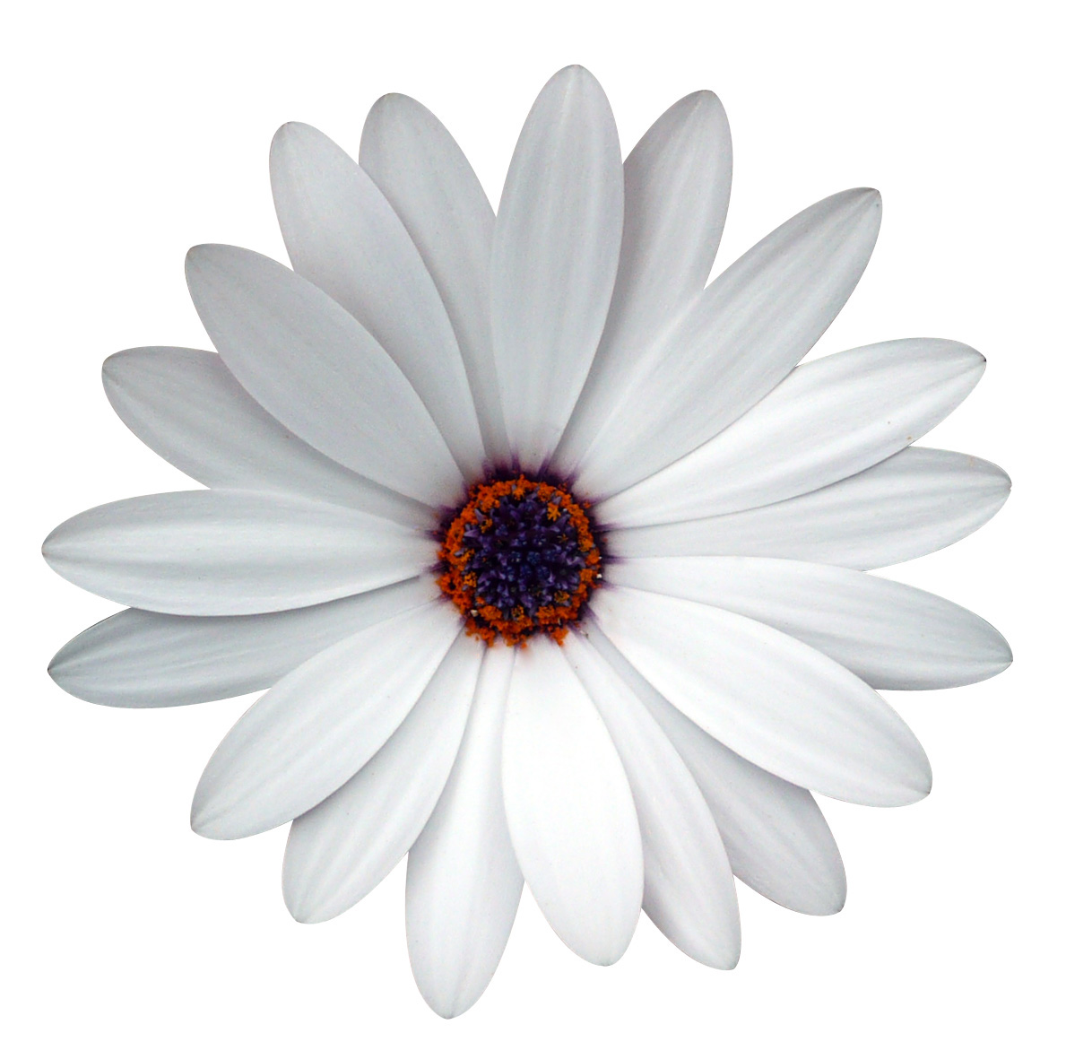 Cape Daisy White