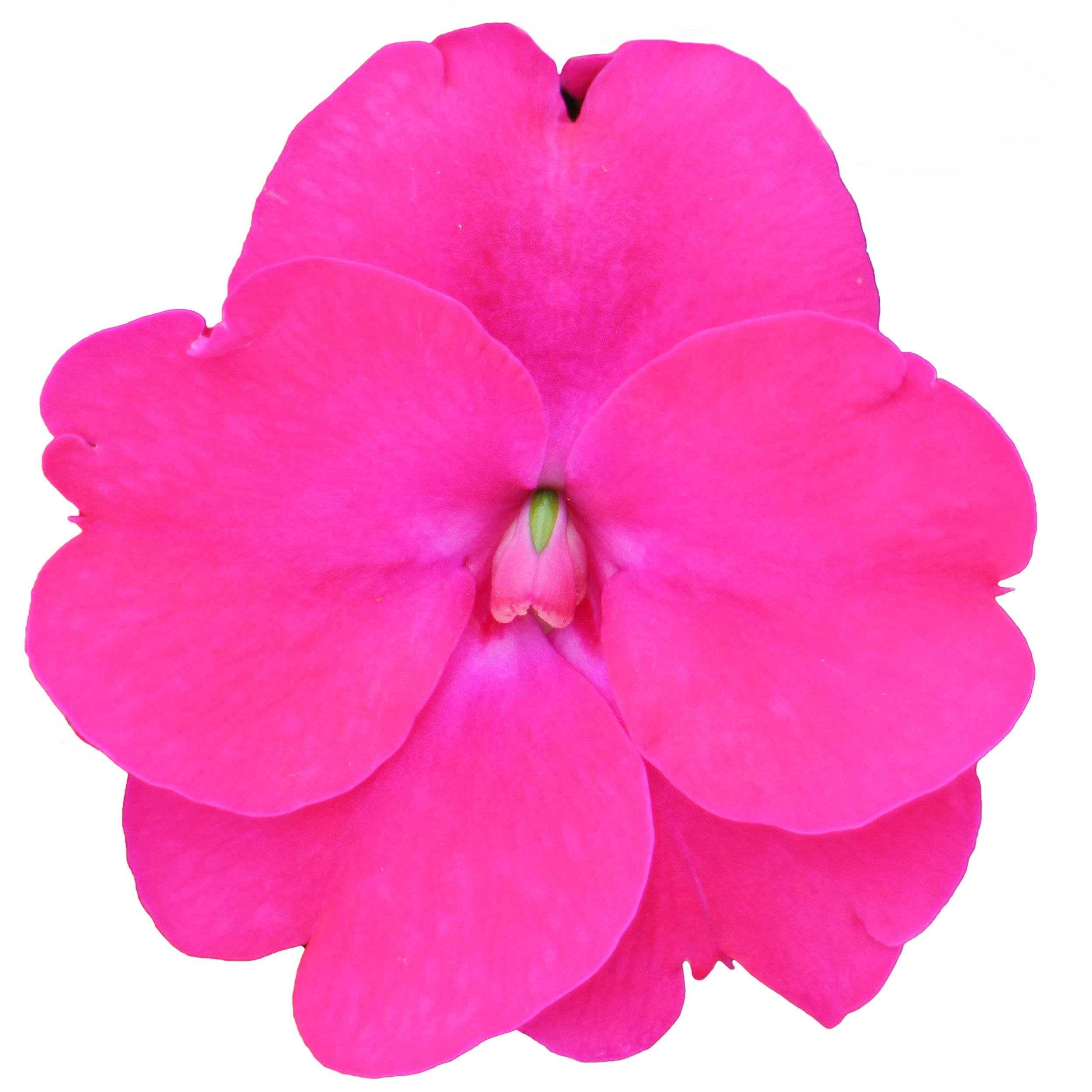 SunPatiens Rose Pink