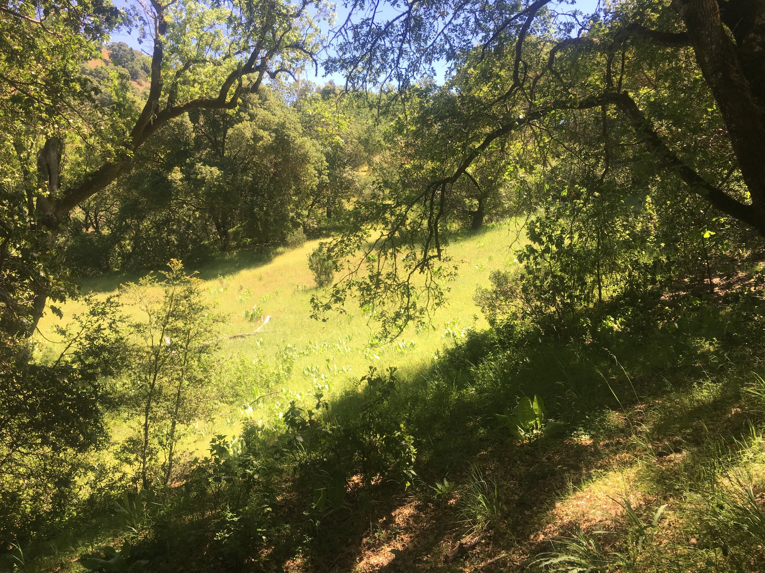 Sunny meadow seen through trees on 40 acre parcel, Yorkville, CA