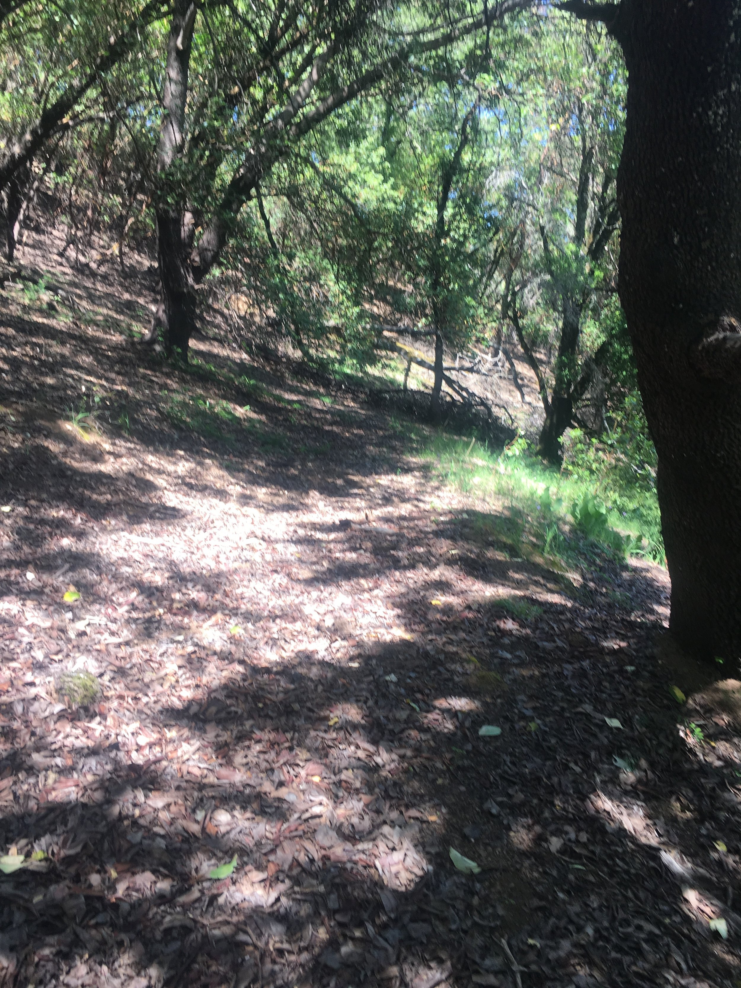 Trail through the forested 40 acres in Yorkville, CA. Anderson Valley