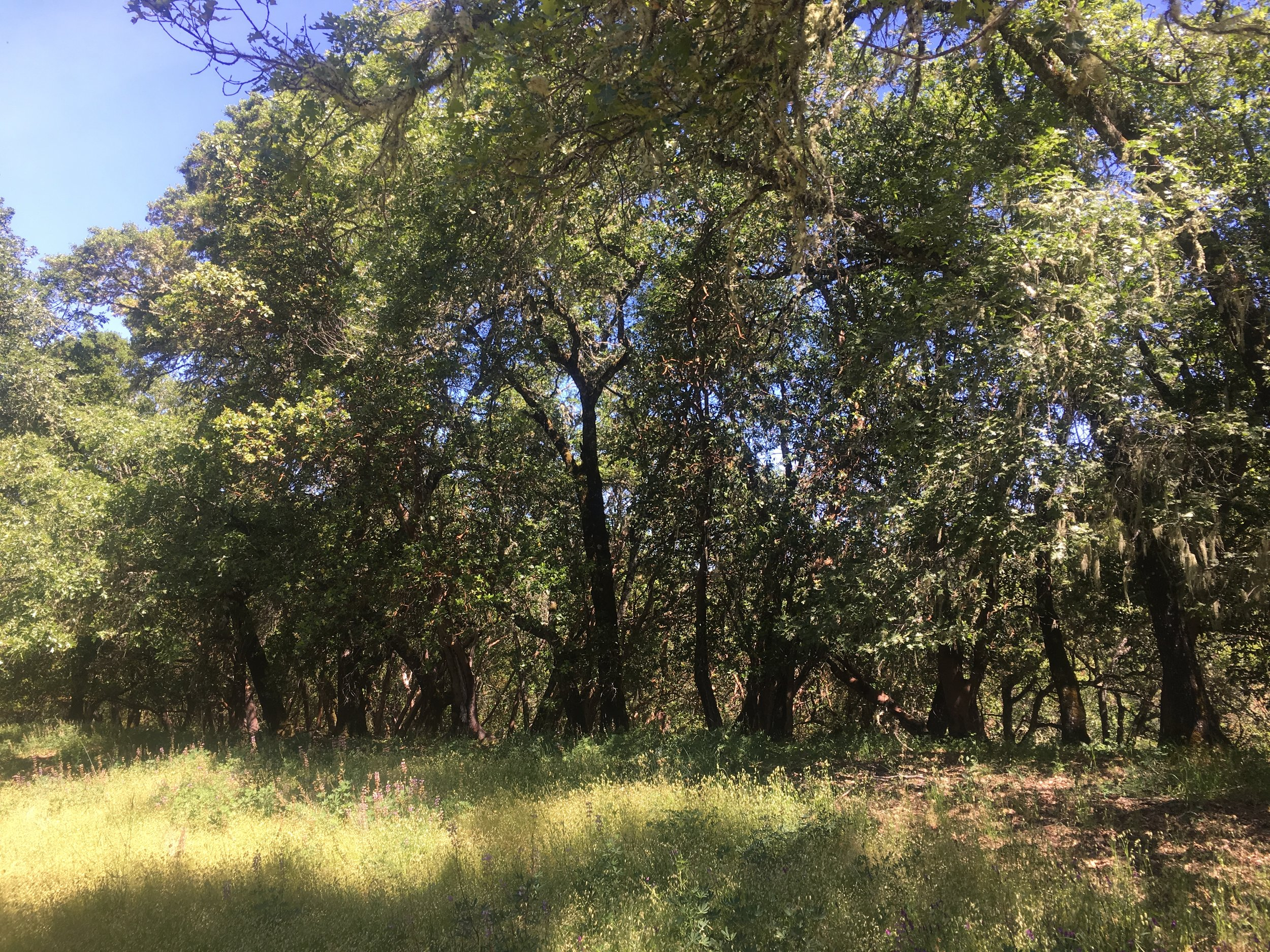 Trees and meadow, 40ac, Yorkville, Mountain House Rd. California