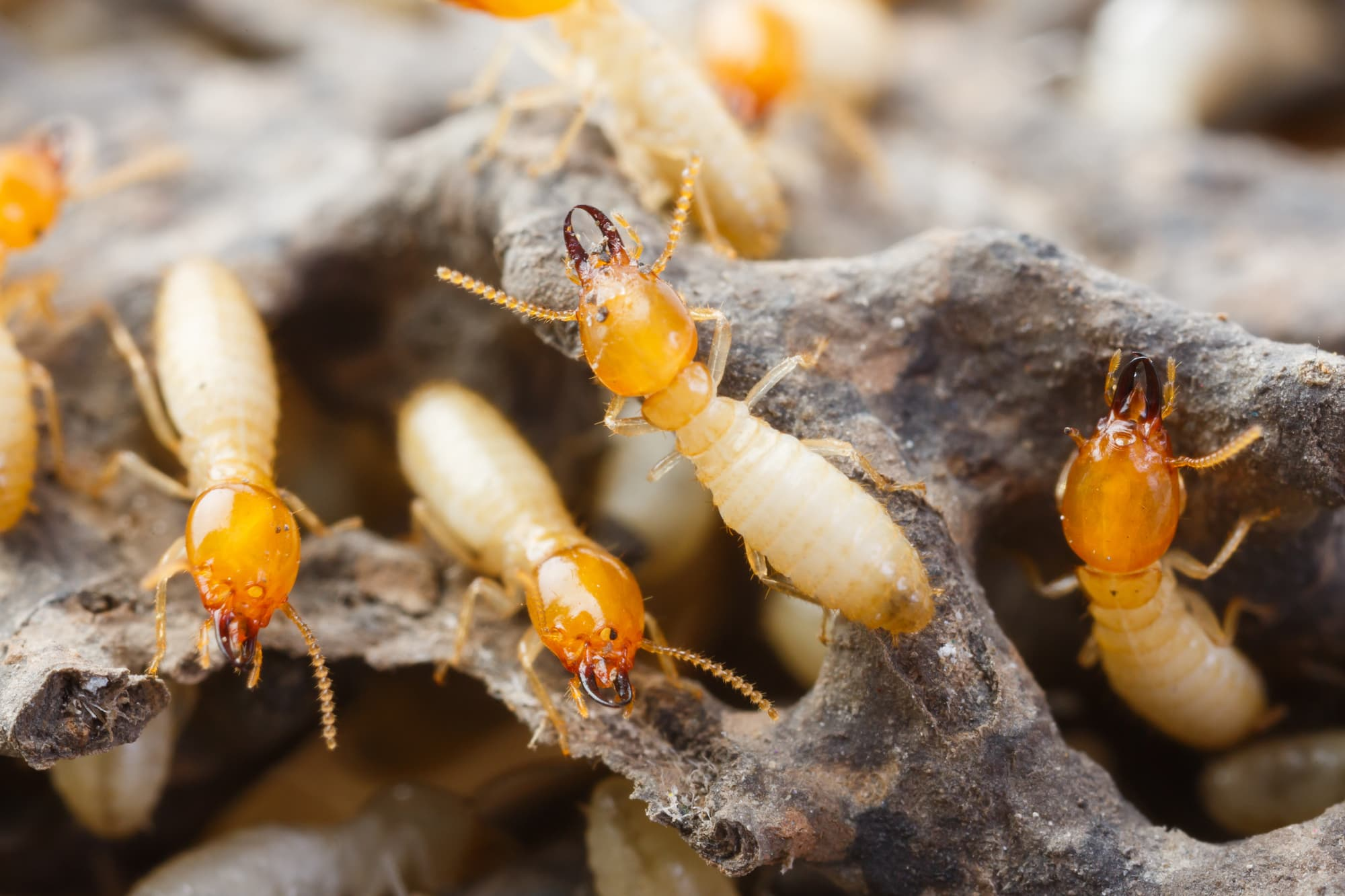 Termite control - Termites can go undetected for years causing serious damage to homes & businesses. Treatments can be applied as a preventative measure, or for remediation.