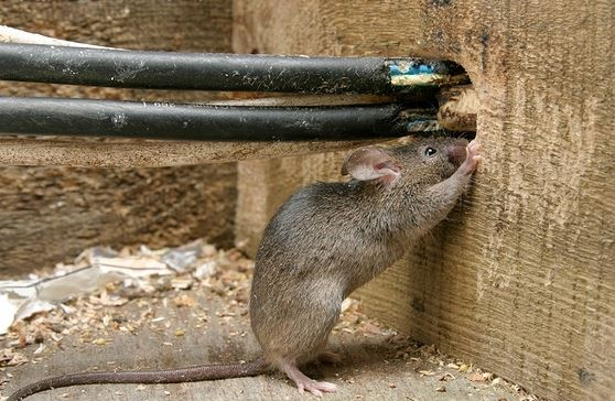Rodent Control - Rodents can cause damage to the structure, wiring, & other important features of the home or business. They also have been known to carry diseases. Our rodent services include baiting, trapping & exclusion or fortification to keep them outside where they belong.