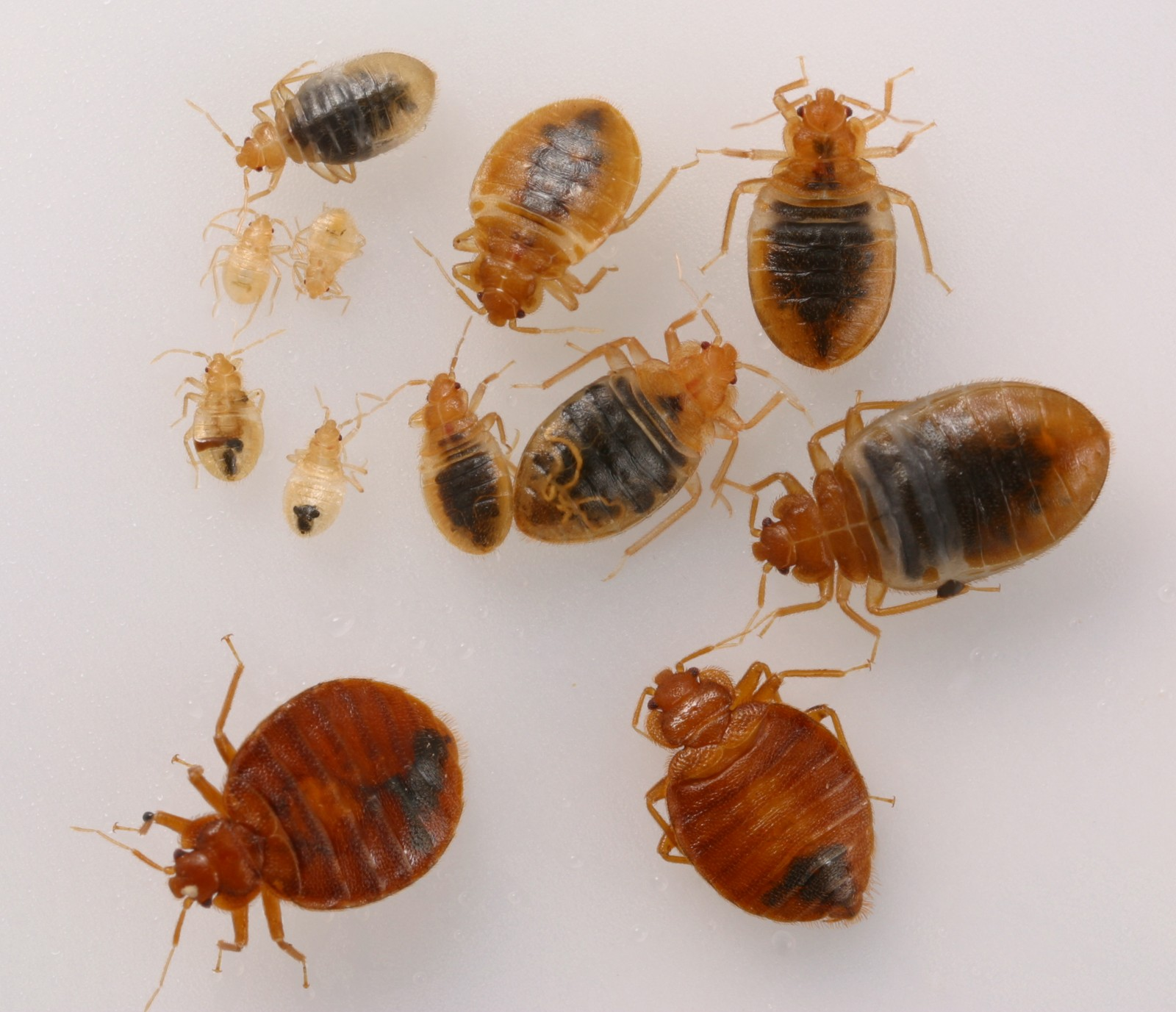bed bug remediation & Prevention - Bed bugs, until recent years were not much of an issue. Within the last 10 years these little blood suckers have made a serious comeback in the US & other countries by developing a resistance to common pesticides. Modern chemistry developments & tactics have recently made effective control possible once again.