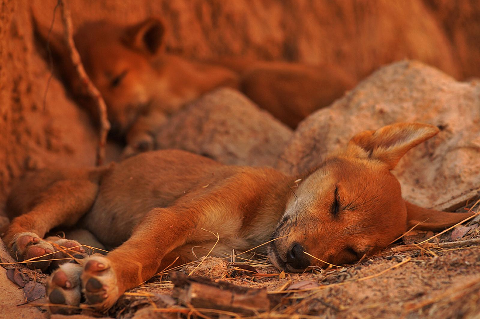 sleeping dingo pup.jpg