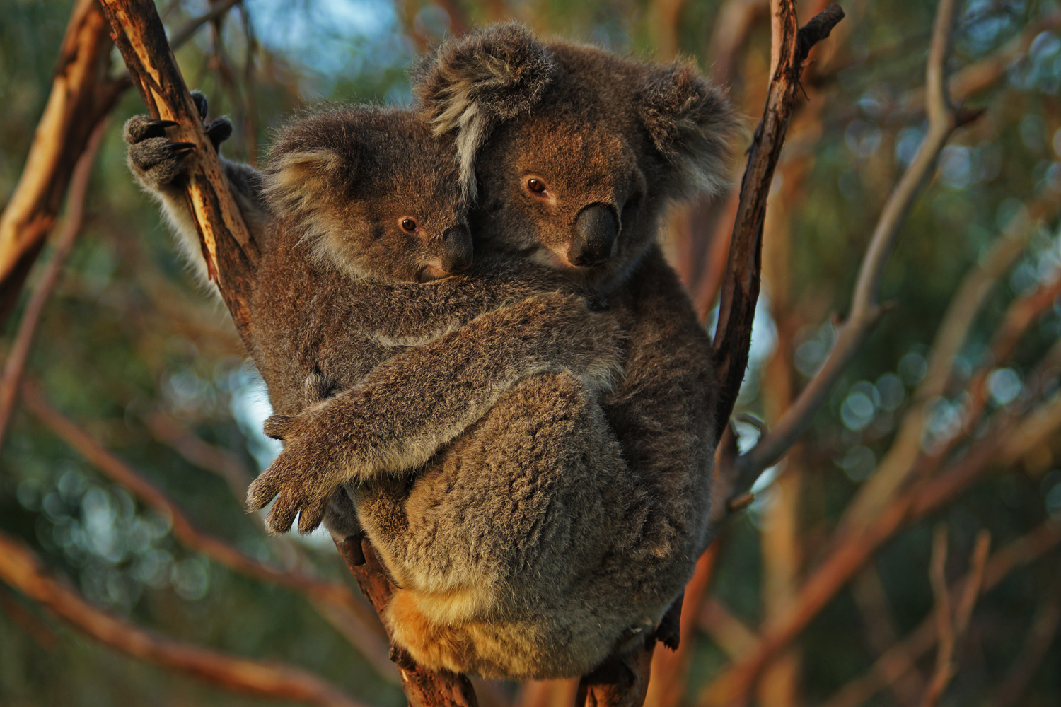 KOALAS - View Koalas in their natural environment resting and feeding in majestic old manna gums in a private setting.