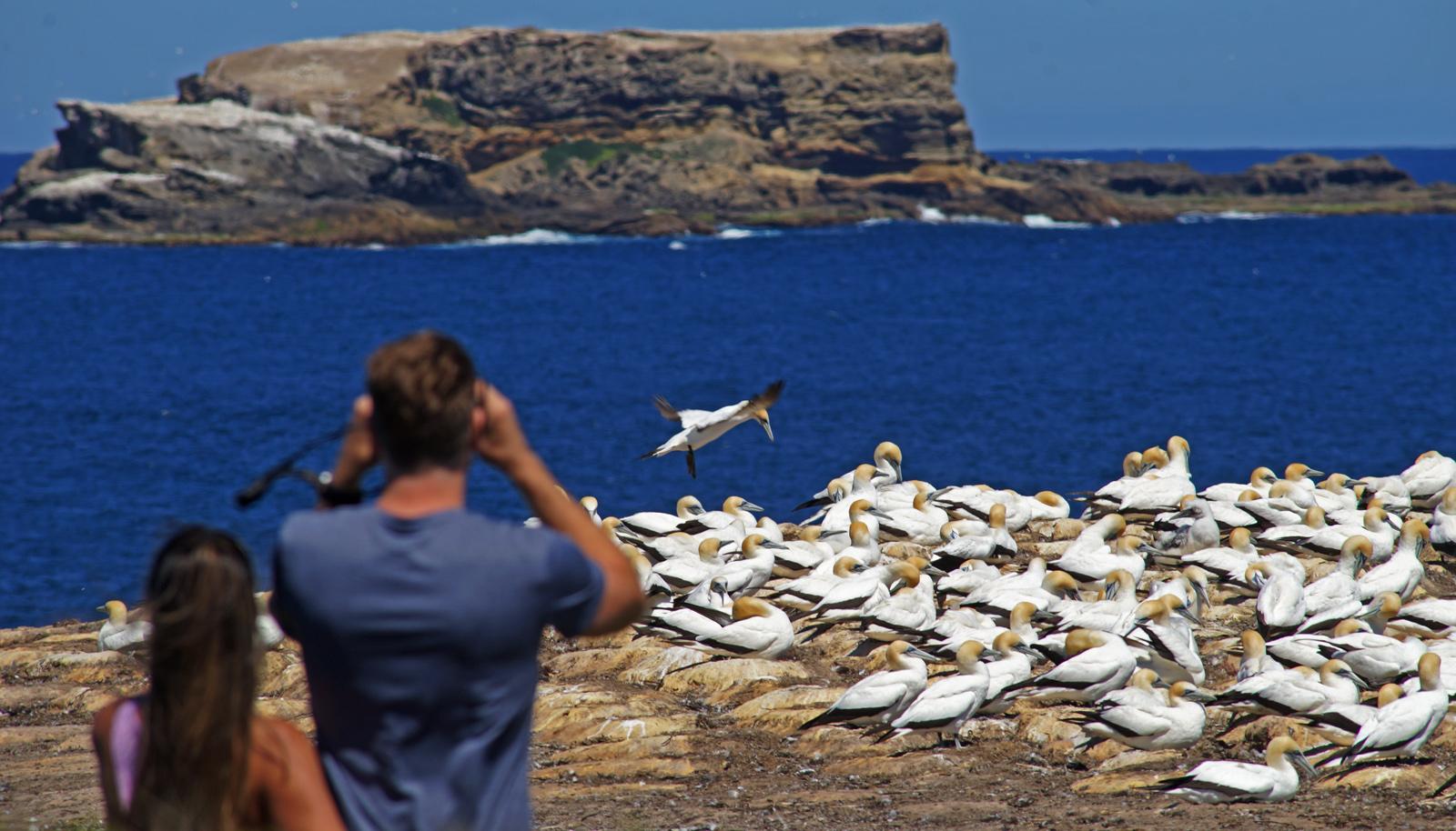 GANNETS - Lawance Rocks, Australia's largest breeding colony of Australasian Gannets.