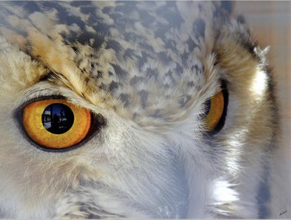 The Eye of the Owl