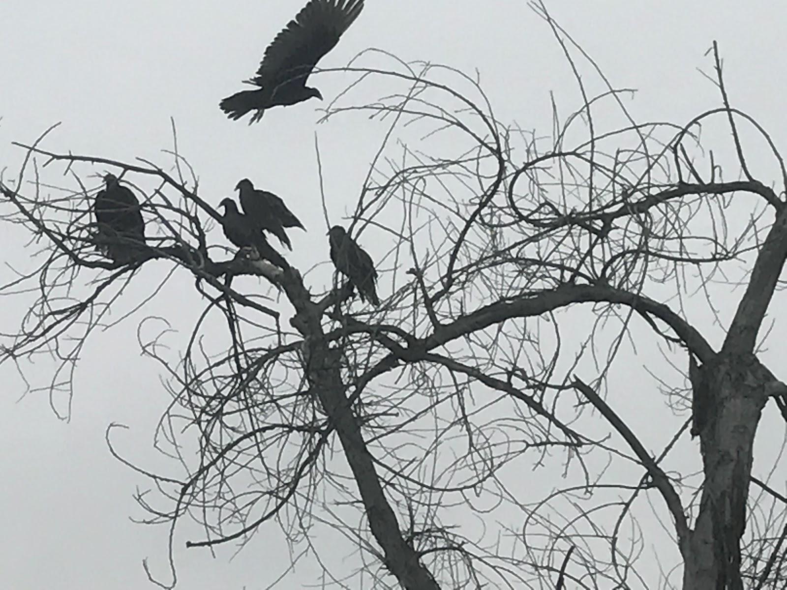 listen vultures.JPG