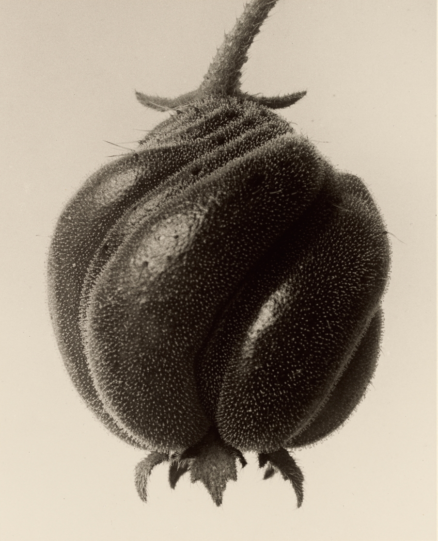 "[Fig.1] Karl Blossfeldt ""Blumenbachia hieronymi (Loasaceae)"", 1932, Gelatin silver print 25.9 × 20.8 cm (10 3/16 × 8 3/16 in.) e J. Paul Getty Museum, Los Angeles"