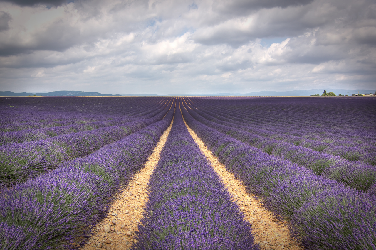 lavender the official fragrance of provence