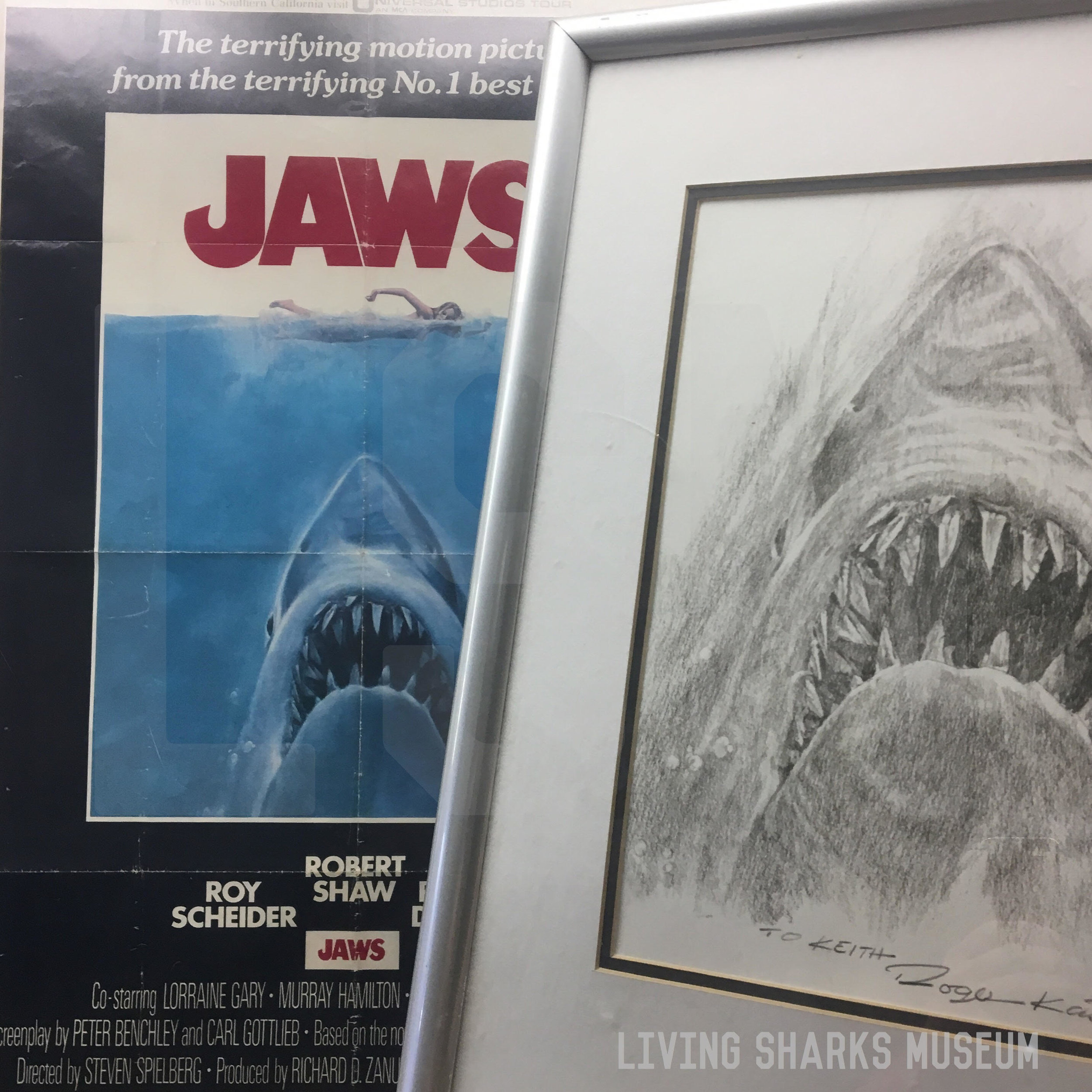 """JAWS THE SHARK - Artist Roger Kastel illustrated one of the most iconic images ever created, the unforgetible ascending maw of the shark. Printed on the original one sheet poster for the film's release in 1975, the actual painting has gone missing. Kastel was commissioned for a a meager sum with low expectations of the film's success. Additionally he was never contracted royalties for its use, which would have unknowingly made him incredibly wealthy.Autographed to the Curator is Roger Kastel's pencil rendition of his memorable poster art, acquired in person during a convention appearance._____________________ORIGINAL JAWS MOVIE POSTER 27""""x 41""""KASTEL AUTOGRAPHED PENCIL PRINTPrivate Collection - Keith M. Cowley"""