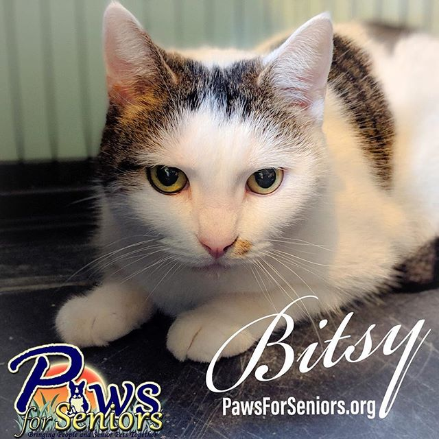 New intake: Bitsy! Will be available for adoption soon. www.pawsforseniors.org . . . #adoptdontshop #adoptme #cutecat #calicocat #needsagoodhome #catsofinstagram
