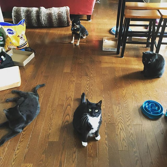 Smile for the camera! 😄 I have successfully trained 3/4 of my animals how to sit. Cats are very food motivated. Frank and Mookey will sit (and stand!) on command for treats. It just takes practice and patience. You should try it! #cattraining #catwhisperer #catcafe #blackcatsmatter #chiweenie #rescueanimals