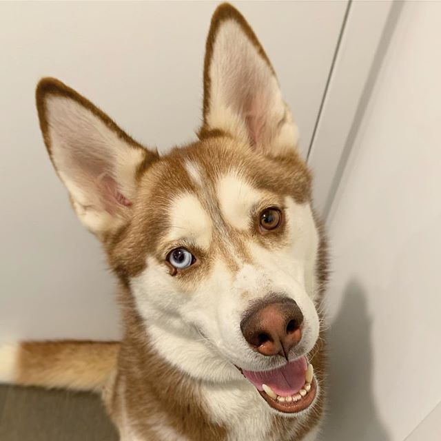 It's hard to look away from Balto. He was recently rescued at 3 years of age from a hoarding situation and never learned any foundation training. Watching him discover a true communication with his people is heartwarming to say the least. ❤️ #dogboynyc #husky #brooklyndogtraining #nycdogtraining #leadersnotbullies #rescuedog #dogsofinstagram