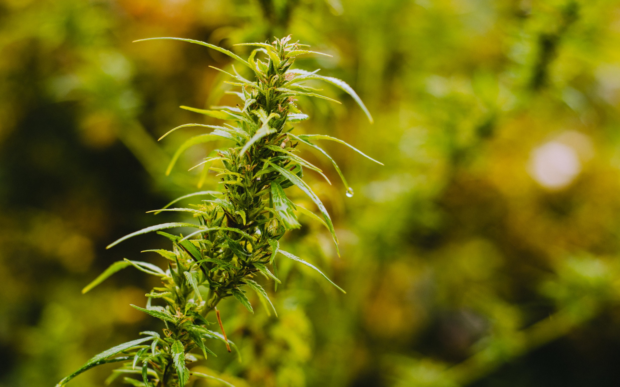 Sativa - These tall lanky plants are lighter green in color. Generally, these strains are good for motivation, creativity, and helping with depression. Sativa strains generally provide a more energetic high.