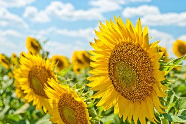 Sunflowers Small.jpg