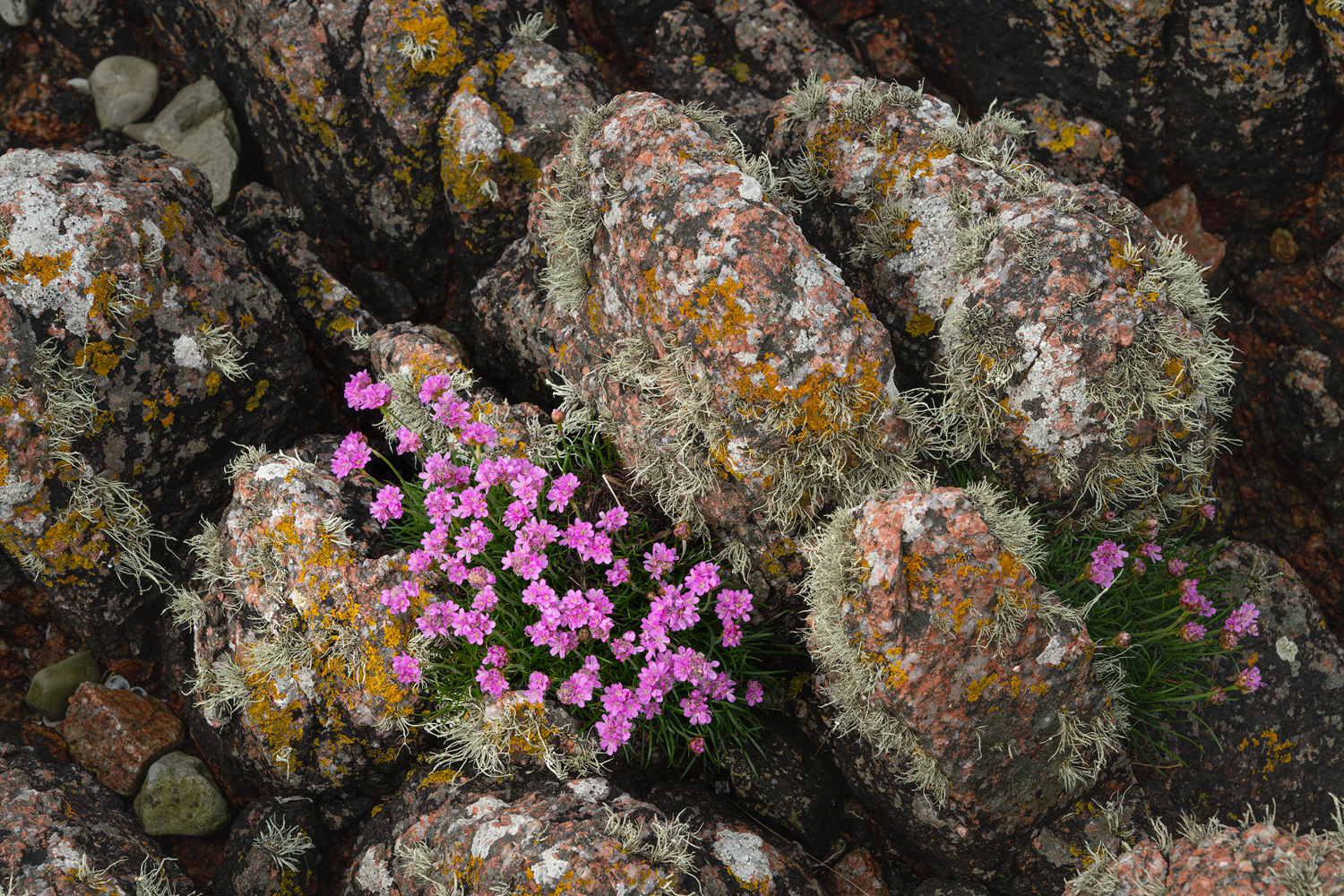 Beautiful Flowering Sea Thrift