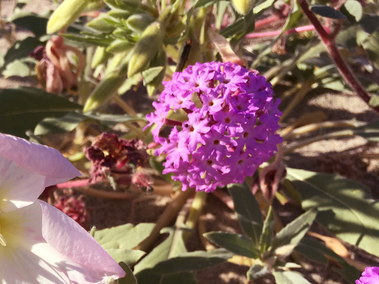 Sand Verbena (Abronia Villosa) - This purple flower grows low to the ground and gives the desert a vibrant purple carpet. Composed of tiny flowers on each head of blossoms, the verbena also has hairy leaves. You can typically find this blossom between February and May.