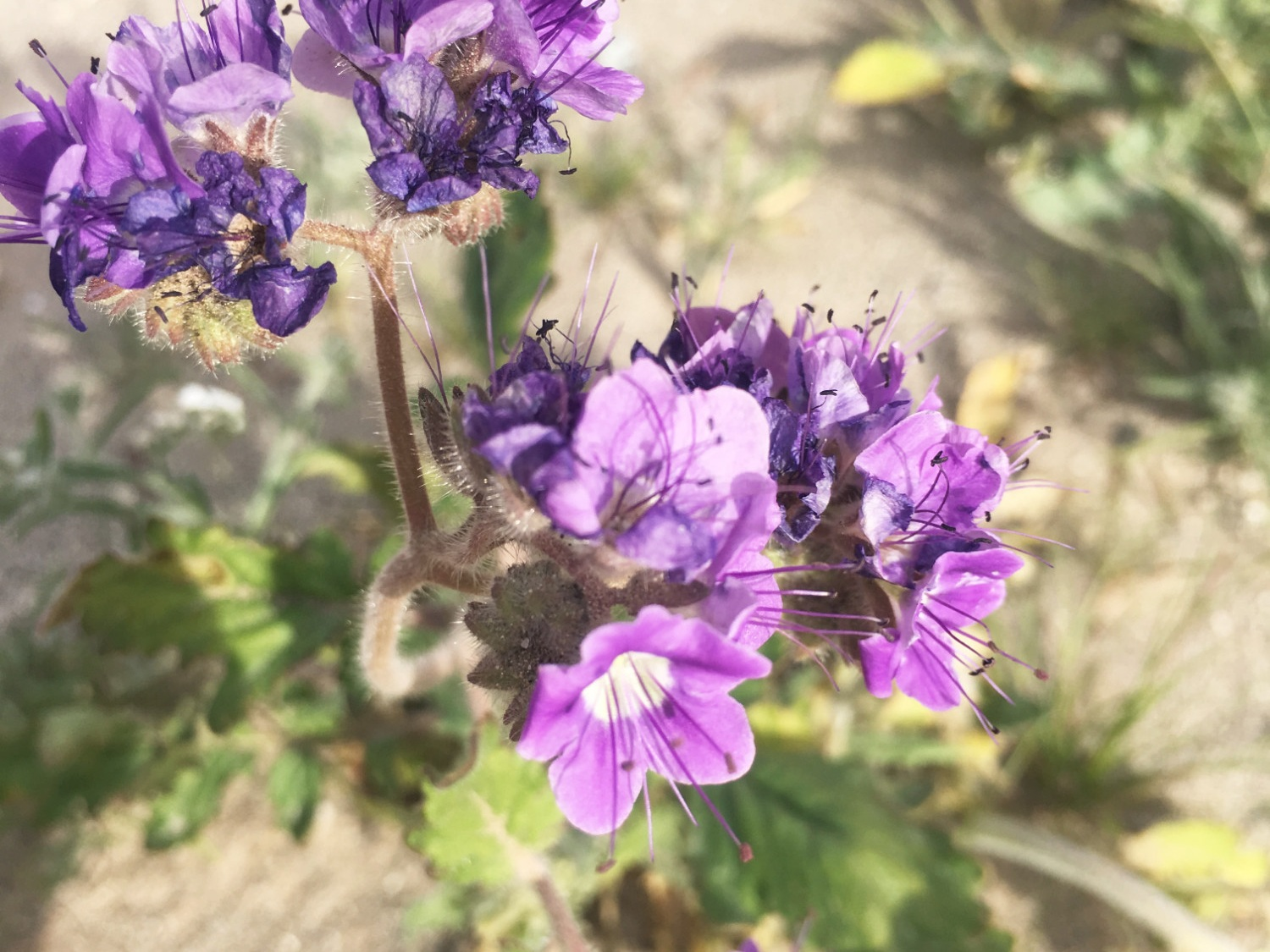 Wild Heliotrope (Phacelia Distans) - A native of the Sonoran Desert, Wild Heliotrope is also called Scorpionweed. They have small purple flowers that bunch together on top of a hairy stem. But be careful — if you touch the stem, it can leave a smell on your hands!