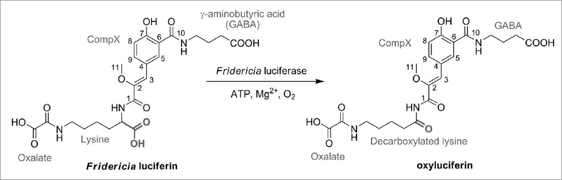 Fr BL mechanism scheme.png
