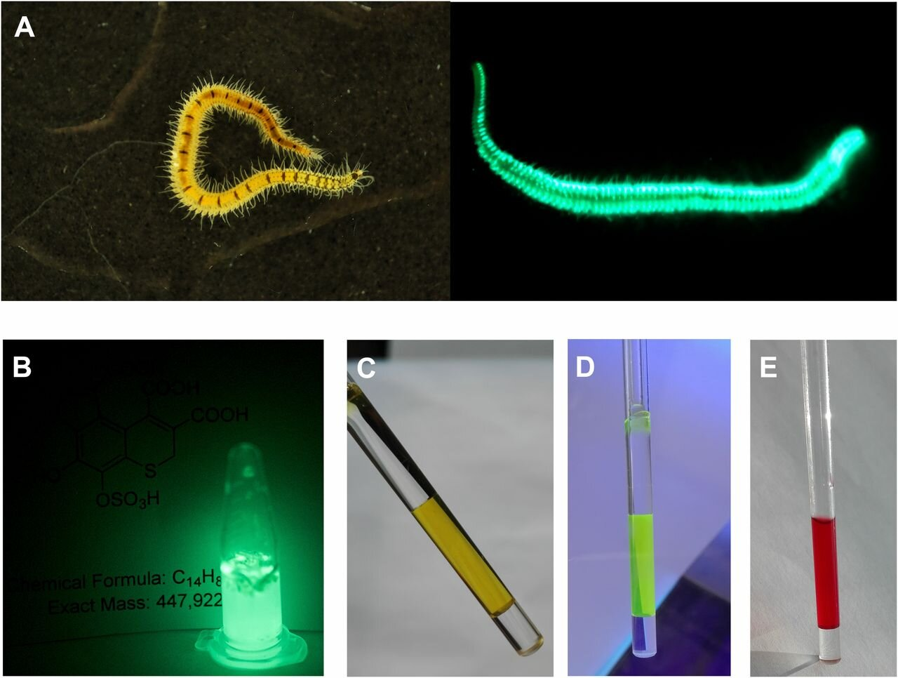 Figure from PNAS website.   O. undecimdonta  worms and components of its bioluminescence system. ( A ) The fireworm in daylight and in the dark. ( B ) Light emission of lyophilized worms in water. ( C ) NMR tube with the purified oxyluciferin (Green), visible light. ( D ) Fluorescence of Green, UV light. ( E ) NMR tube with the purified product of nonenzymatic oxidation of luciferin (Pink), visible light.