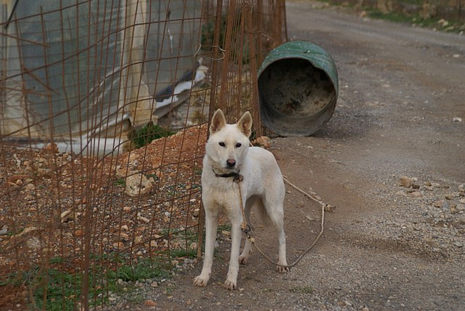 Barrel dogs in Crete
