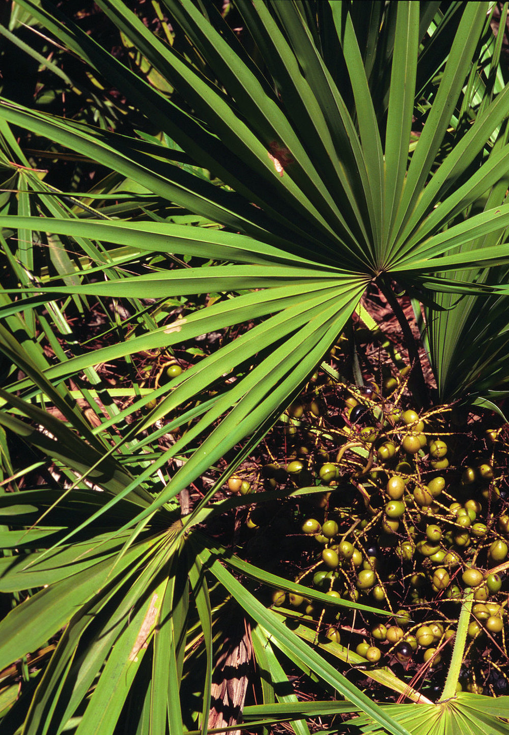 Saw Palmetto for Hair Loss