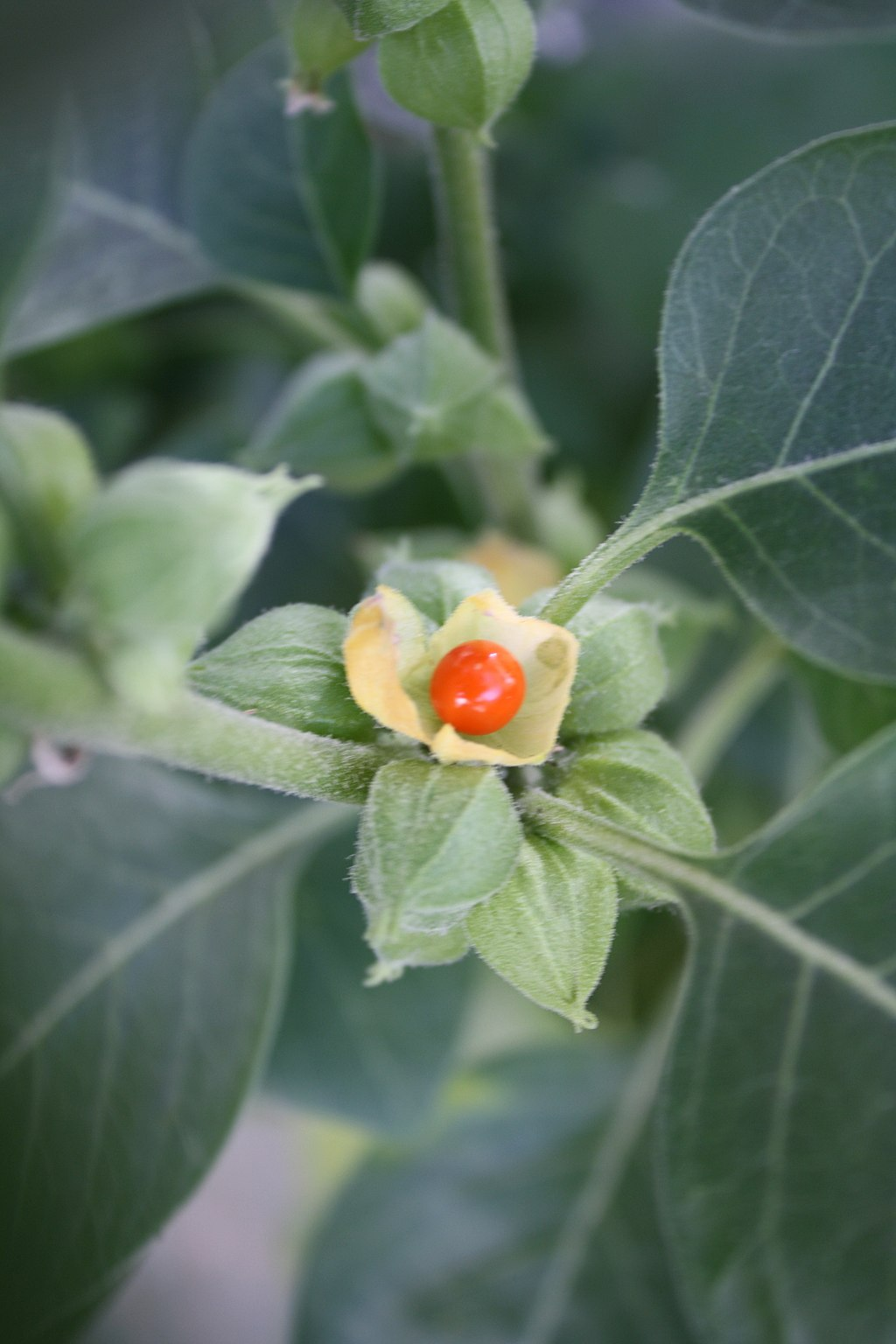 Description :Berry of the Withania somnifera plant.  Date 26 July 2012 Source Own work Author  Wowbobwow12