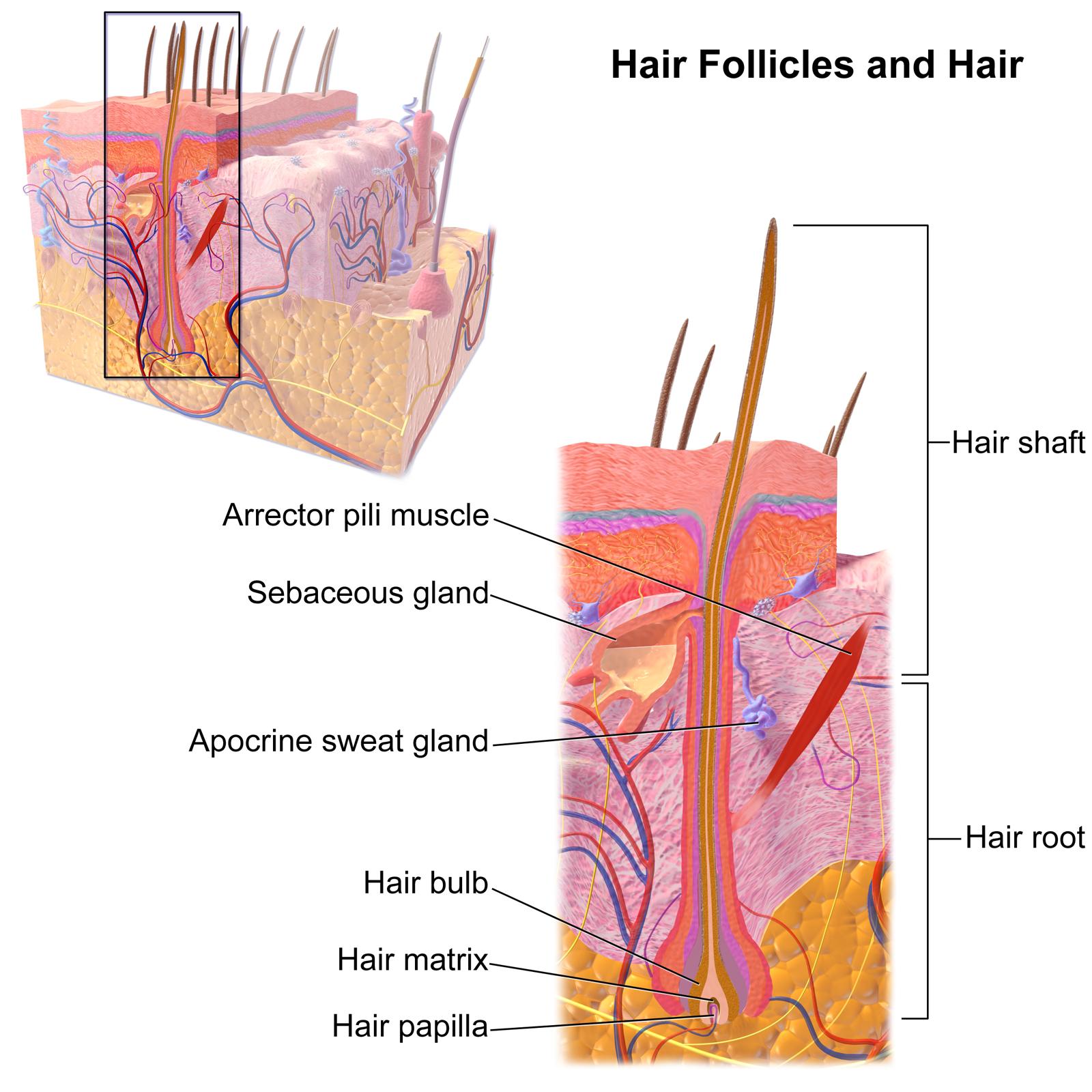 Blausen_0438_HairFollicleAnatomy_02.png