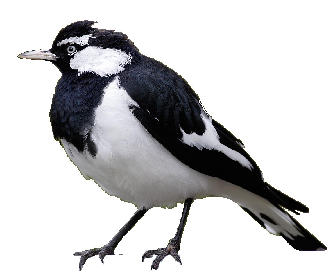 Magpie Lark (Peewee)