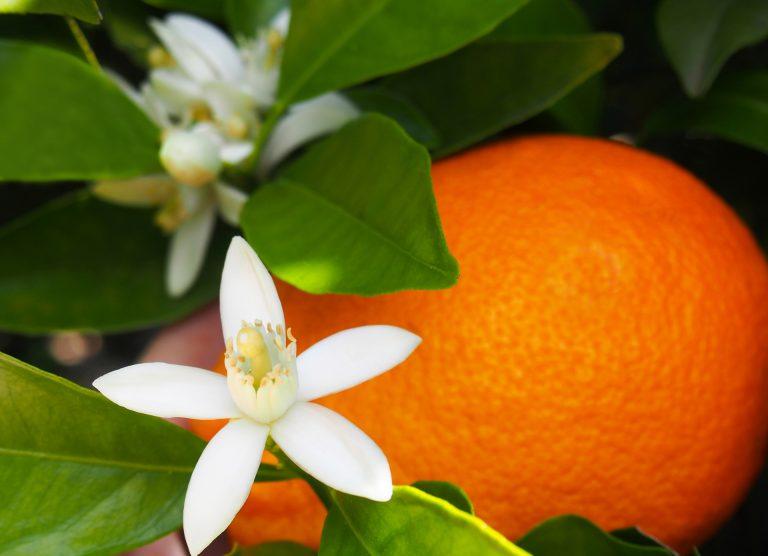 ABSOLUE DE FLEUR D'ORANGER - Nom botanique : Citrus Aurantium AmaraRégions productrices : Tunisie, Sud de la France, Maroc, ItalieFamille Olfactive : Florale OrangerAdjectifs : miellé, lavandé, méthylé (adjectif utilisé par les parfumeurs par rapport à son composant principal : l'anthranilatede méthyle)Note de coeurCaractéristiques techniques : L'anthranilate de méthyle est un composant principal mais on retrouve également de l'indole présent dans beaucoup d'autres fleurs blanches comme le jasmin, qui a cette particularité d'avoir une note très animale qui s'intensifie lorsque la fleur se fane et donc sent moins bon.
