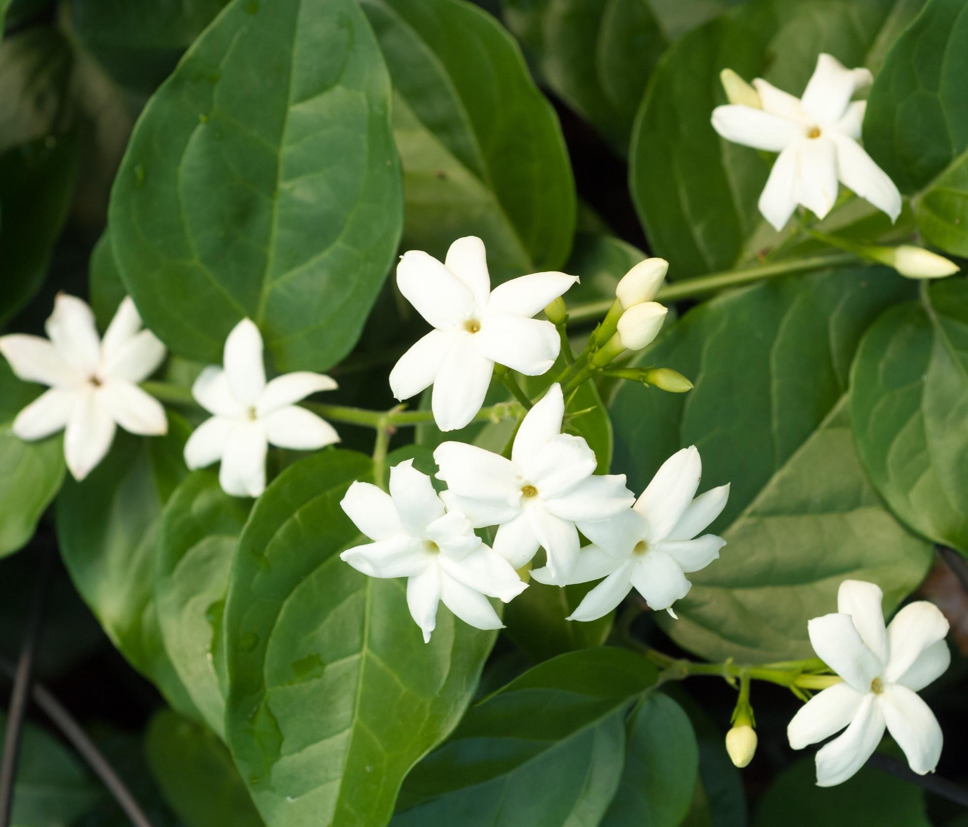ABSOLUE DE JASMIN - Nom botanique : Jasminum GrandiflorumRégions productrices : Egypte, Maroc, Inde, GrasseFamille Olfactive : Florale JasminéeAdjectifs : fruité, foin, animalNote de cœurCaractéristiques techniques : On extrait les fleurs fraîches au solvant, on obtient alors la concrète que l'on distille pour obtenir l'absolue. En parfumerie, utiliser de l'absolue de Jasmin Grandiflorum est un luxe. Il faut ramasser environ 8000 fleurs de jasmin pour en avoir 1 kg et il faut 600kg de fleurs pour obtenir 1kg d'absolue ! On utilise également l'absolue de jasmin sambac au parfum beaucoup plus animal, miellé et moins fruité.