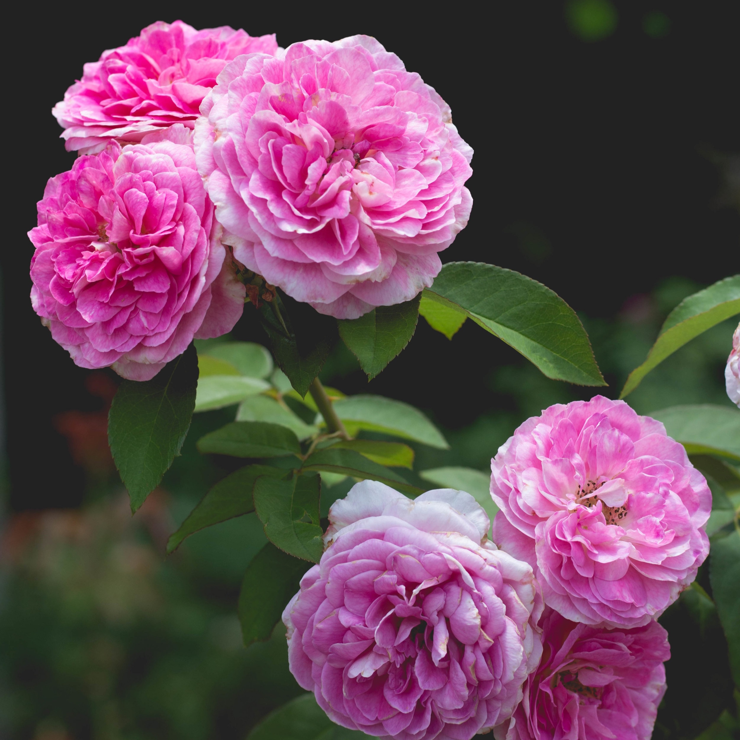 ESSENCE DE ROSE - Nom botanique : Rosa DamascenaRégions productrices : Grasse, Bulgarie, TurquieFamille Olfactive : Florale RoséeAdjectifs : fruité, épicé, poudréNote de coeur