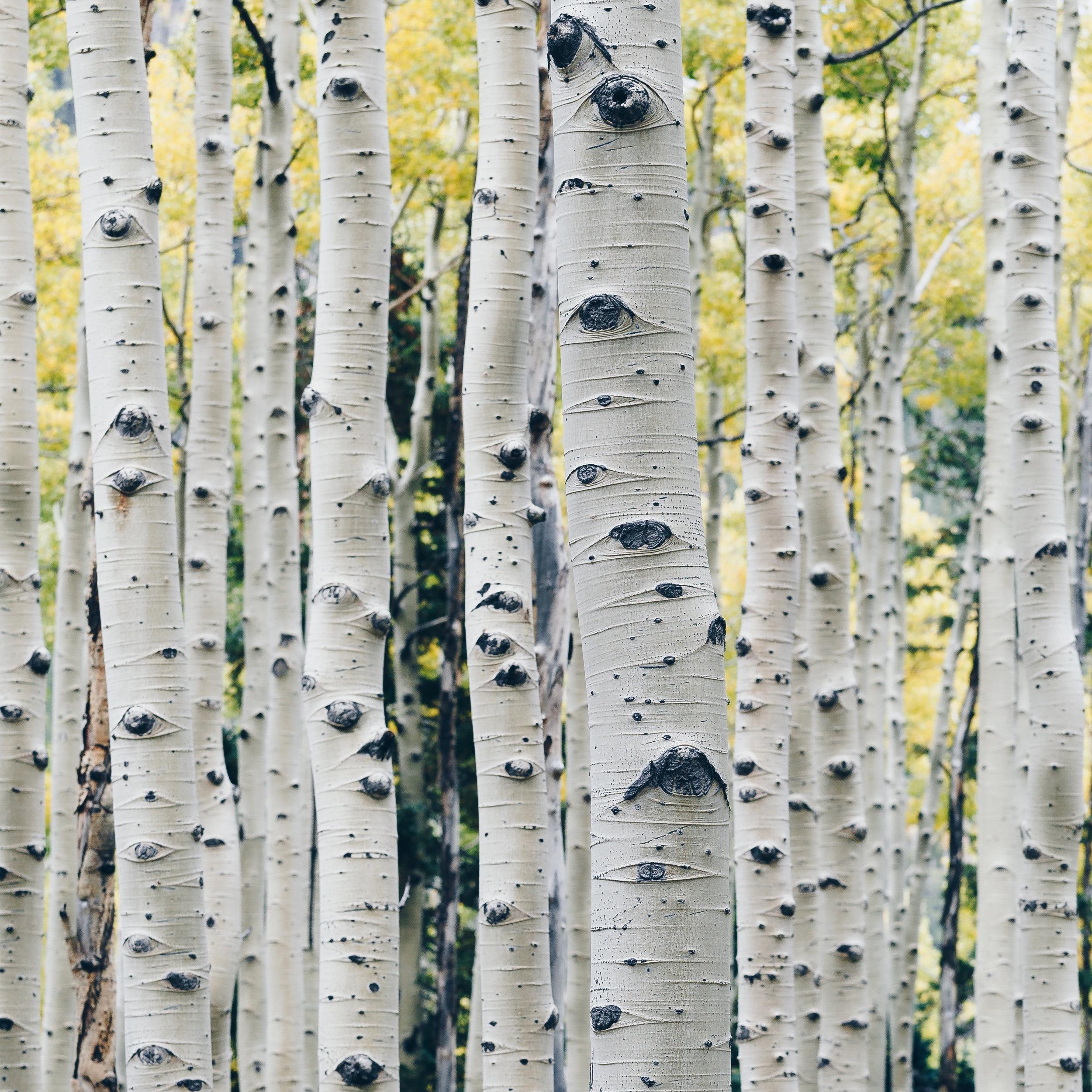 ESSENCE DE BOULEAU - Nom botanique : Betula AlbaRégions productrices : Amérique du Nord, Russie, FinlandeFamille Olfactive : Cuir PyrogénéAdjectifs : fumé, animal, boiséNote de fond